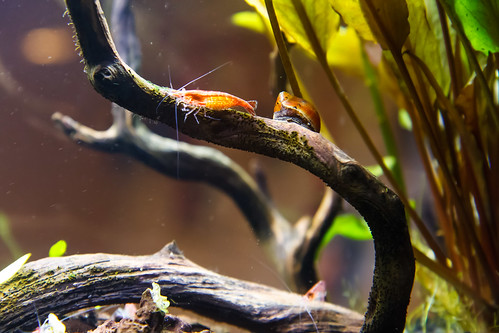 pregnant red cherry shrimp
