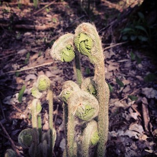 Ferns. #bluehill #maine