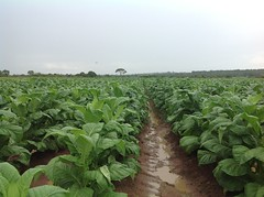 Madeline Murambwi's tobacco crops on her 32-hectare farm in Zimbabwe's Mashonaland East province. She is one of this southern African nation's emerging female tobacco tycoons. Credit: Jeffrey Moyo/IPS