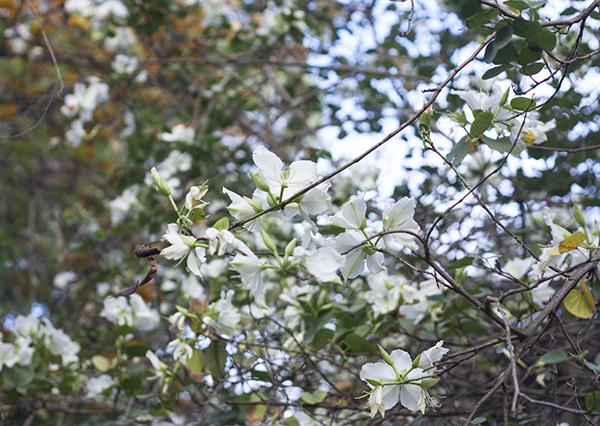 fashionpea_white_blossom15