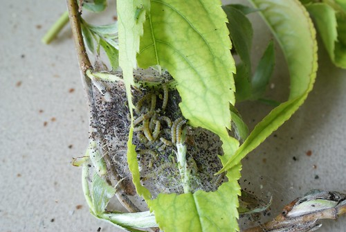 Yponomeuta rorrella larval web