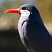 Inca Tern by pigpogm