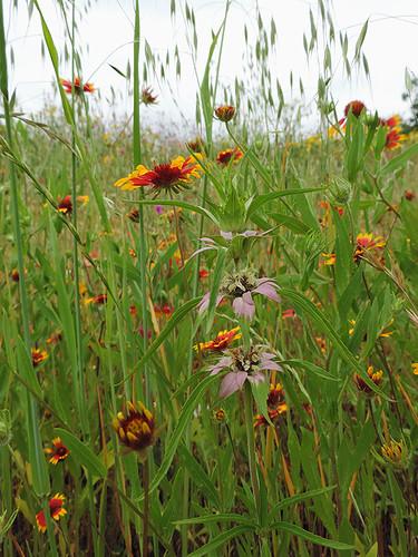 flowers usa texas belmont wildflowers belmonttx