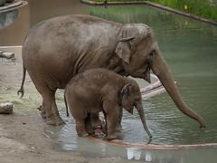 mahout(0.0), wildlife(0.0), animal(1.0), indian elephant(1.0), elephant(1.0), zoo(1.0), elephants and mammoths(1.0), african elephant(1.0), fauna(1.0),
