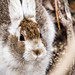 Snowshoe Hare, A Close Up