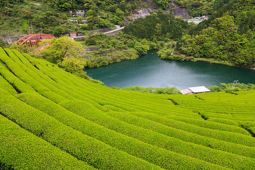 japan tea 日本 kochi teaplantation 茶畑 高知県 吾川郡