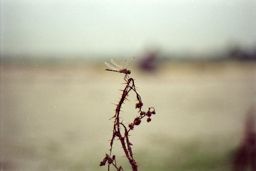 sunset film nature analog insect evening dragonfly fujifilm dhaka thorn bangladesh banasree thorny nikonf6 af50mmf18d fujicolorc200 dhakadivision aftabnagar epsonv330 sheikhshahriarahmed