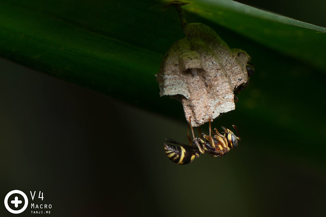 Ropalidia (?) wasp attending its nest