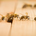 Emerging bees