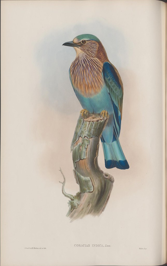 upright grey & blue Asian bird on a tree stump in book illustration 1800s