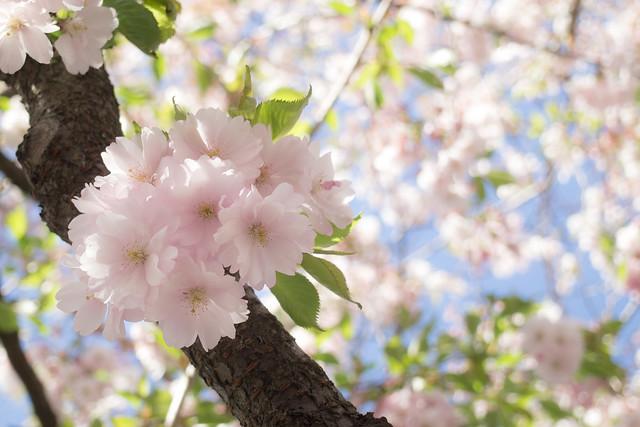 sakura in stockholm 11