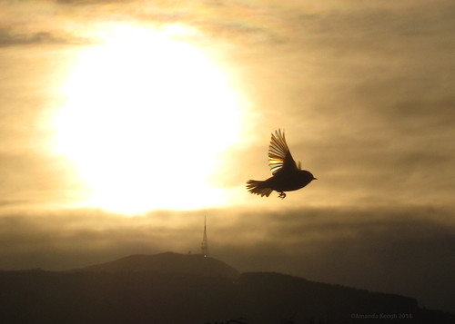 travel bird sunrise canon flying wings flight journey otago dunedin silvereye waxeye birdinflight tauhou flyingbird mtcargill newzealandlandscapes sx10is canonpowershotsx10is amandakeogh amandakeoghphotography birdcloud1