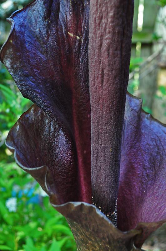 Amorphophallus konjac (1)