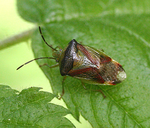 Birch Shield Bug Elasmostethus interstinctus Tophill Low NR, East Yorkshire May 2014