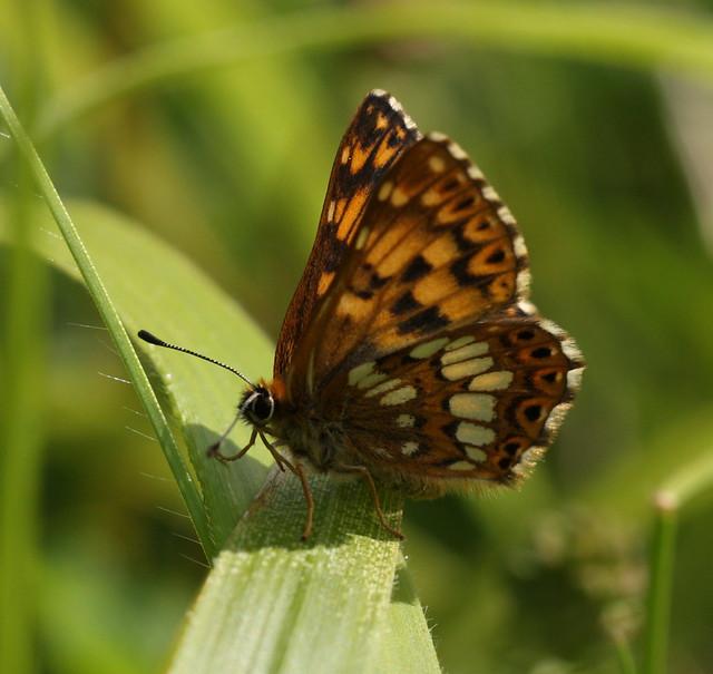 butterfly&war19