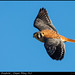 American Kestrel, Cape May NJ