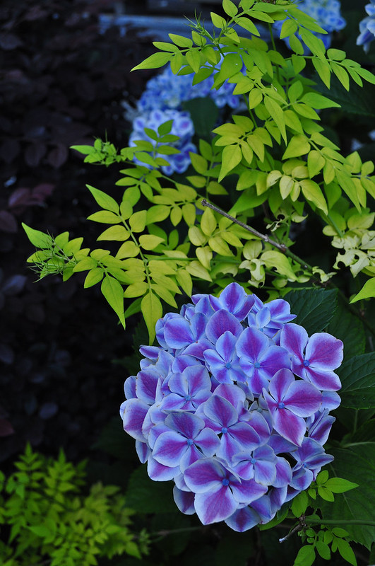 Hydrangea macrophylla 'Frau Kinue'  with Jasminum officinale 'Aureum'
