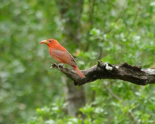 Summer Tanager (Male with Agarita berry)