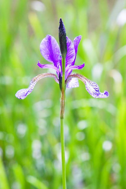 iris. Botanical garden. Lviv, Ukraine