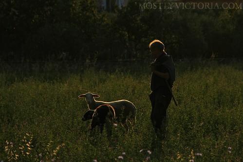 breakfast sunrise sheep shepherd meadow greece meteora