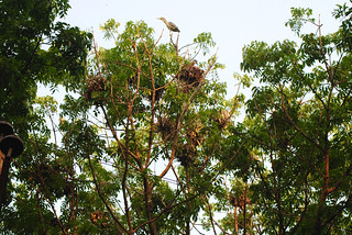 Nests at Heronry