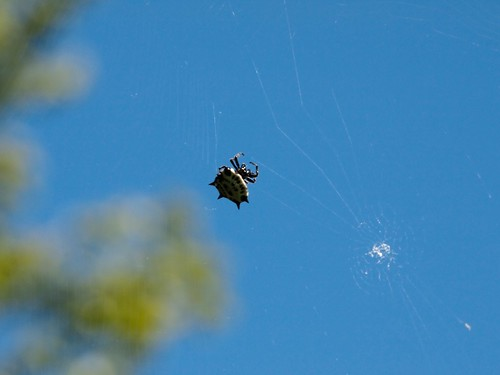 spider insects spinyorbweaver