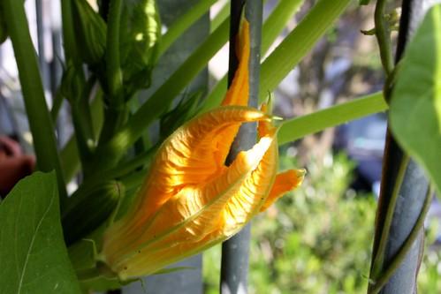 Zucchini flower I