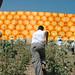 Small photo of Jaffa Orange West Bank Wall