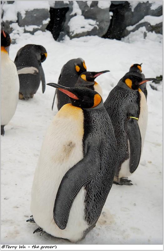 Day5 - 旭山動物園 - 企鵝散步-26