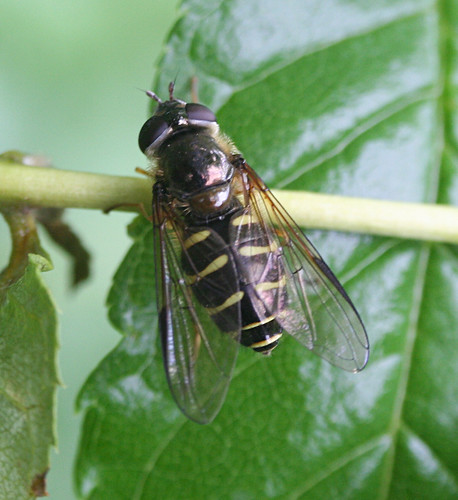 Dasysyrphus venustus Tophill Low NR, East Yorkshire May 2014
