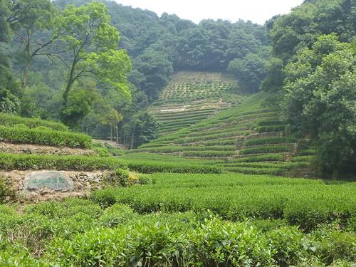 Zhejiang-Hangzhou-Longjing-The (8)