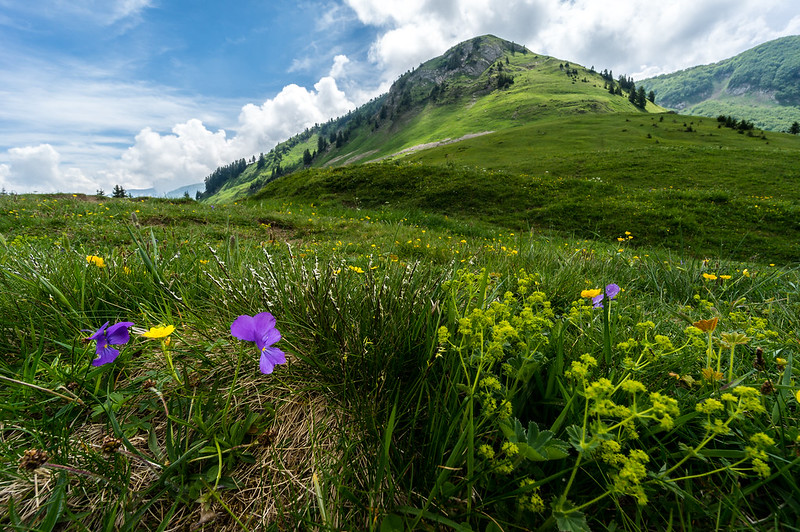 Flower, Le Grand Bornand, French Alps