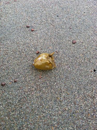 Seaweed air sac