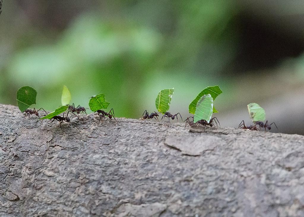 Leaf Cutter Ants 2014-01-24