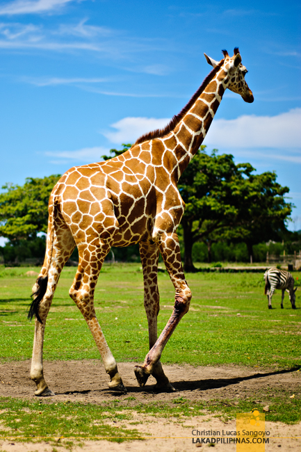 Giraffes at the Calauit Safari Park in Palawan