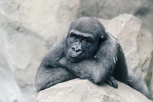 Gorilla Arms Crossed