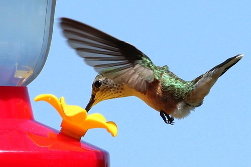 female broadtailedhummingbird