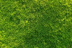 algae(0.0), shrub(0.0), flower(0.0), soil(0.0), flooring(0.0), leaf(1.0), grass(1.0), plant(1.0), artificial turf(1.0), green(1.0), meadow(1.0), vegetation(1.0), grassland(1.0), groundcover(1.0), moss(1.0),