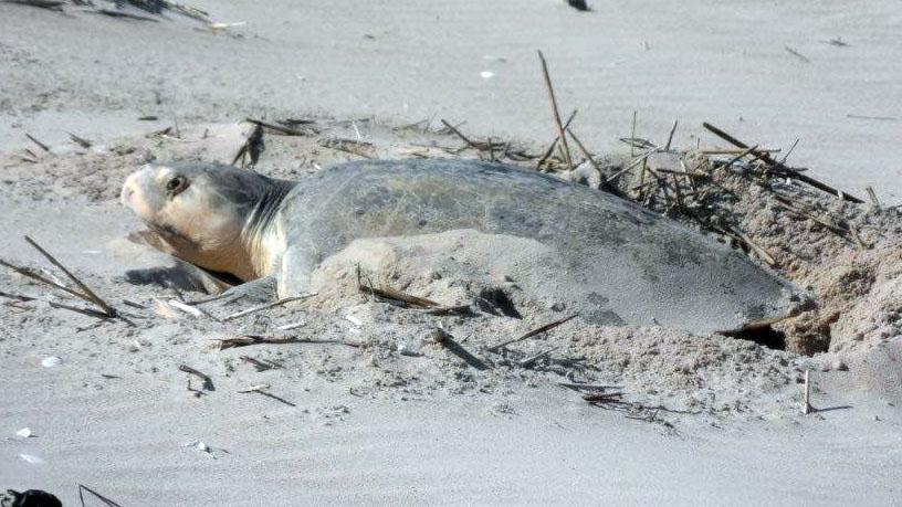 A rare Kemp's Ridley sea turtles built a nest at False Cape State Park