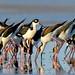 Black-necked Stilt (Himantopus mexicanus) por Lathers