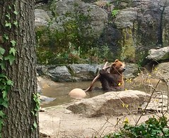 Brown bear, Bronx