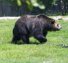 Memphis Zoo 08-31-2016 - Grizzly Bear 8