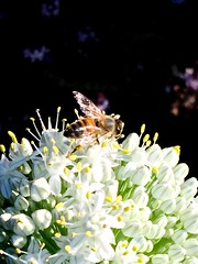 Honey Bee Foraging On Allium Flowers - Edible Passover White Onions