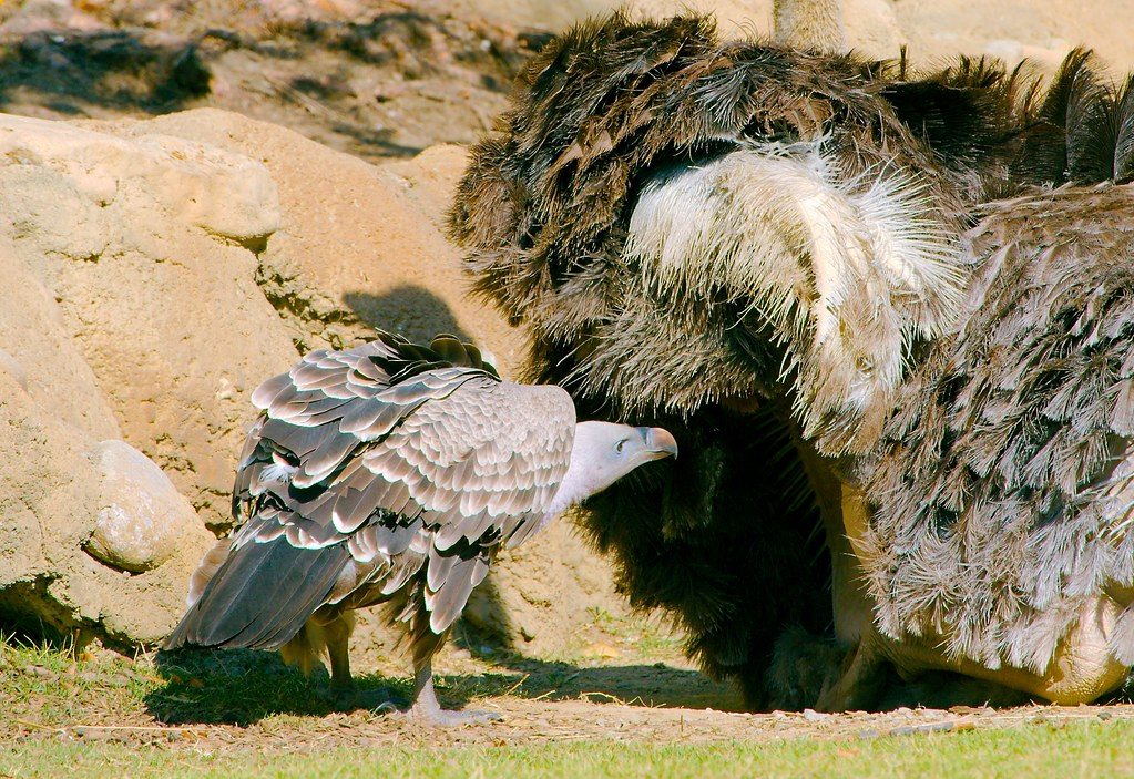 Ostrich and Vulture_1