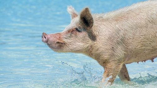 profile portrait pink walking water drops turquoise blue pig swimming exuma cay cute sea beach bahamas island vacation nikon d5