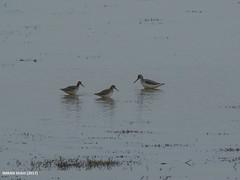 Common Greenshank (Tringa nebularia) & Common Redshank (Tringa totanus)