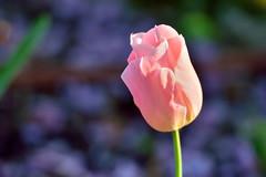Rose sur mauve