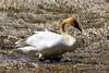 Waddling Swan