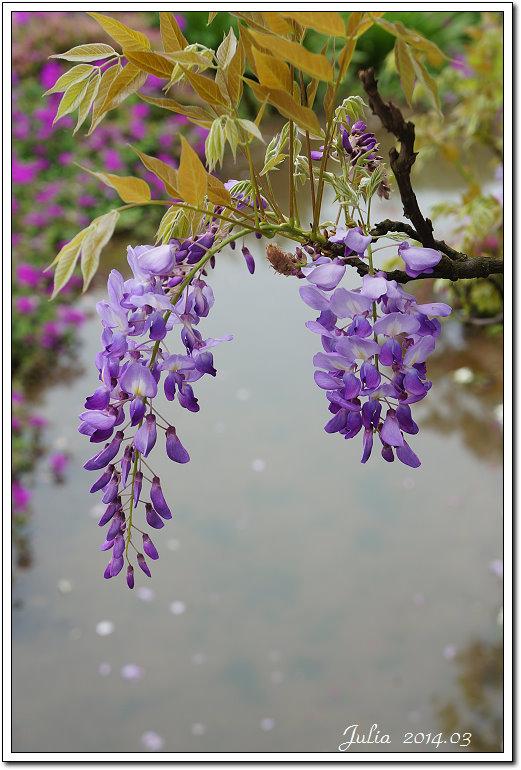 紫藤、老梅 (4)