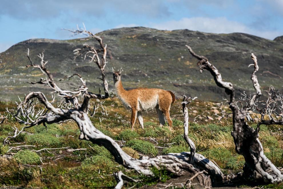 Un guanaco se alimenta en las pasturas de los valles de Torres del Paine, entre cientos de árboles incendiados que no llegan a descomponerse por la ausencia de bacterias a causa del clima frío. (Tetsu Espósito).
